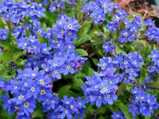 forget me not flower pictures wikipedia